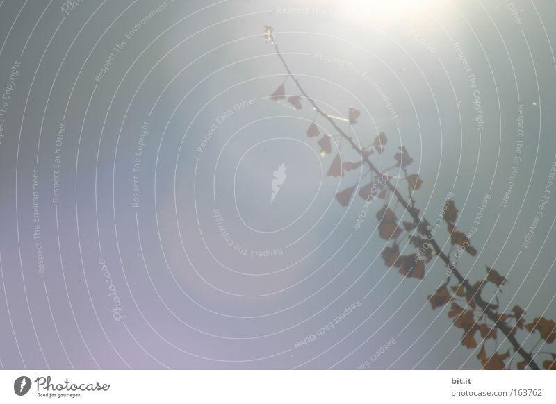 SILBERPFLAUME-GINKGOPHYTA Gedeckte Farben Detailaufnahme Experiment Textfreiraum links Morgendämmerung Licht Reflexion & Spiegelung Lichterscheinung