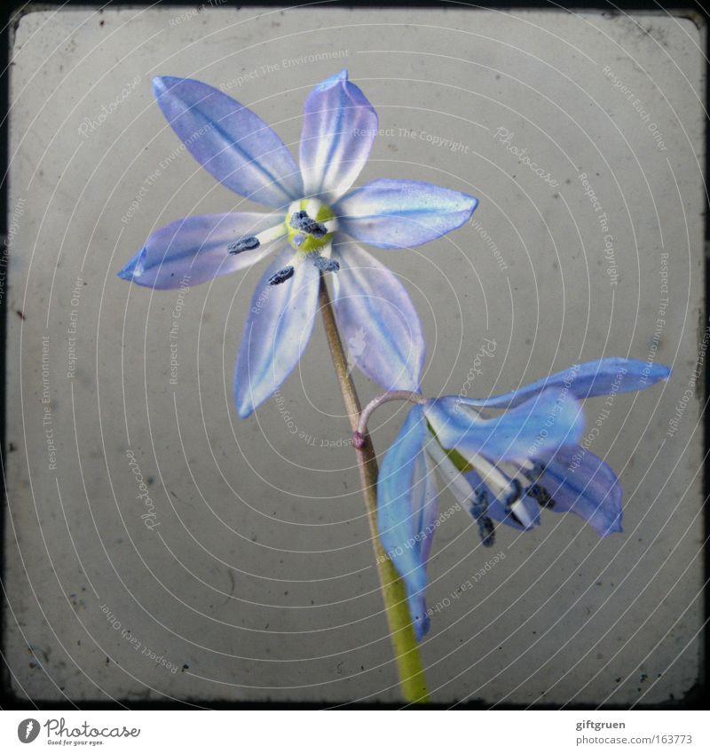 fragmentary blue Farbfoto Nahaufnahme Menschenleer Textfreiraum links Hintergrund neutral Natur Pflanze Frühling Blume Blüte Blütenpflanze Blühend Wachstum