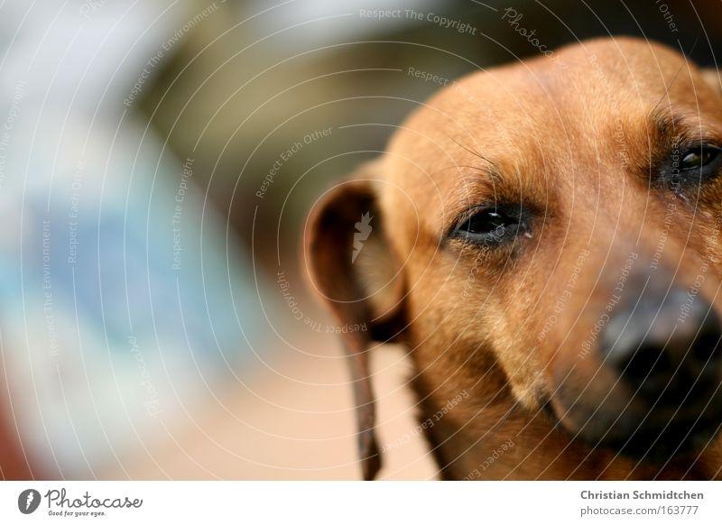 Brutus schön Tier Hund Zufriedenheit Fröhlichkeit ästhetisch Tiergesicht bedrohlich Lebensfreude Haustier