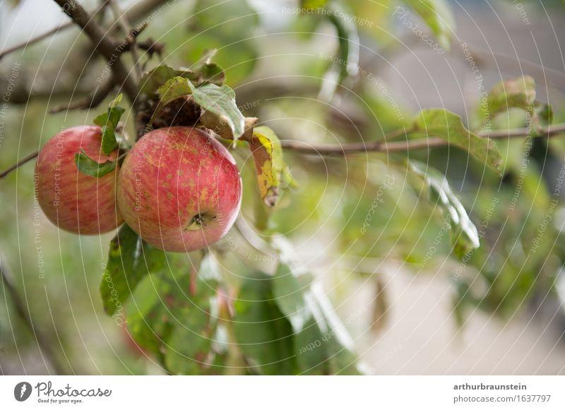 Reife Äpfel kurz vor der Ernte Lebensmittel Frucht Ernährung Frühstück Bioprodukte Vegetarische Ernährung Slowfood kaufen Gesunde Ernährung Fitness Übergewicht