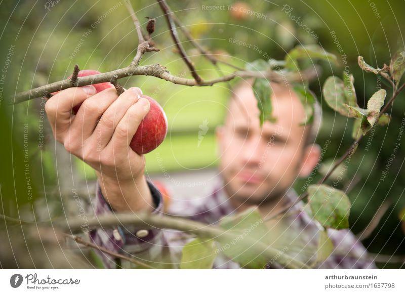 Junger Mann bei der Apfelernte Lebensmittel Frucht Ernährung Bioprodukte Vegetarische Ernährung Gesunde Ernährung Freizeit & Hobby Handarbeit Sommer Garten
