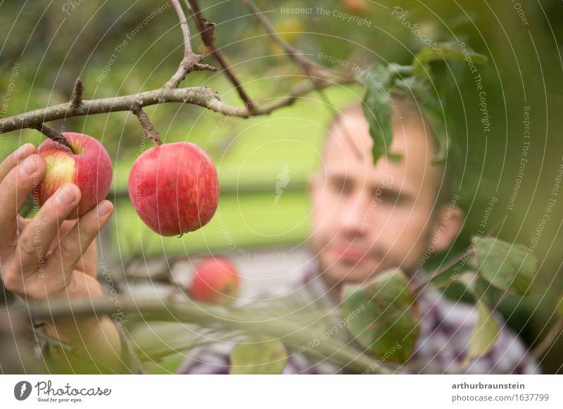 Junge Mann bei Apfelernte Mensch Natur Jugendliche Sommer Gesunde Ernährung Baum Hand Junger Mann Erwachsene Leben Lebensmittel Tourismus Frucht maskulin