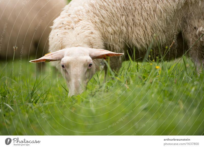 Schaf auf der Weide Natur Ferien & Urlaub & Reisen Pflanze Gesunde Ernährung Landschaft Tier Essen Wiese Gras Lebensmittel Feld Tiergruppe Schönes Wetter