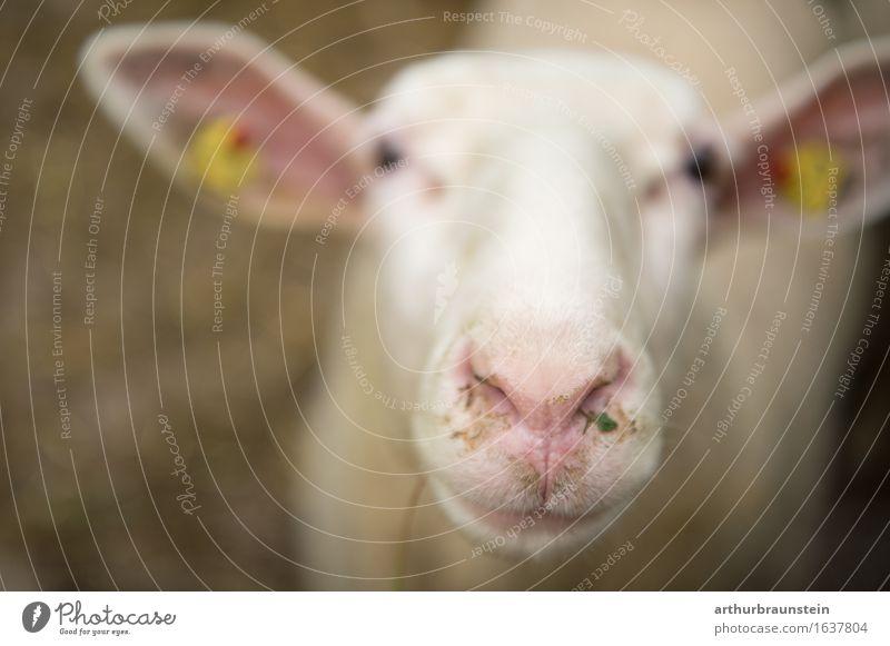 Interessiertes Schaf Lebensmittel Fleisch Ernährung Gesunde Ernährung Umwelt Natur Feld Tier Nutztier Schafswolle Schafskäse Stall 1 beobachten Blick