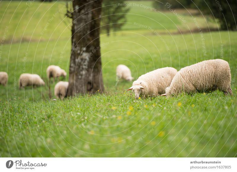 Schafherde auf der freien Wiese Natur Ferien & Urlaub & Reisen Sommer Baum Gesunde Ernährung Landschaft Tier Wald Umwelt natürlich Gesundheit Glück Lebensmittel