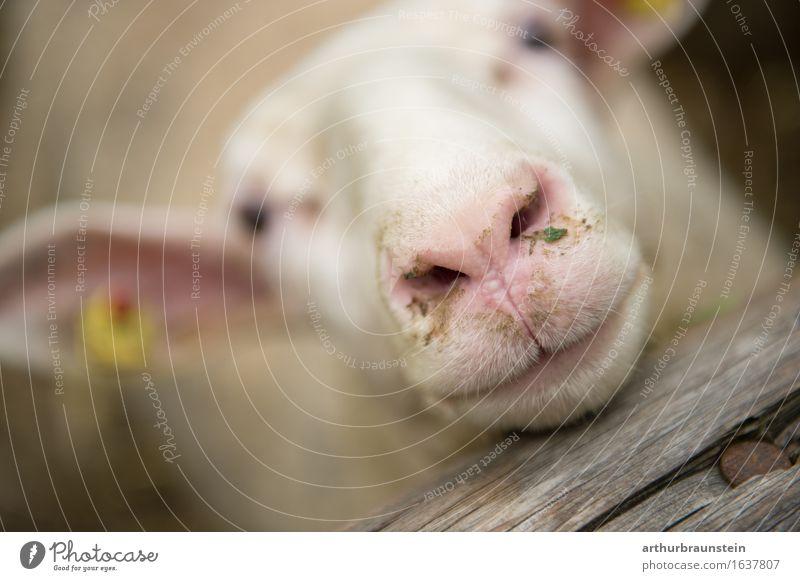Schafschnauze am Holzzaun Fleisch Bioprodukte Gesundheit Freizeit & Hobby Ferien & Urlaub & Reisen Tourismus Freiheit Umwelt Tier Nutztier 1 beobachten Blick