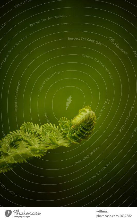 Farn entfaltet sich im Frühling Wachstum grün entfalten aufrollen Natur Pflanze Wildpflanze Echte Farne aufgerollt natürlich Naturliebe Farbfoto Außenaufnahme