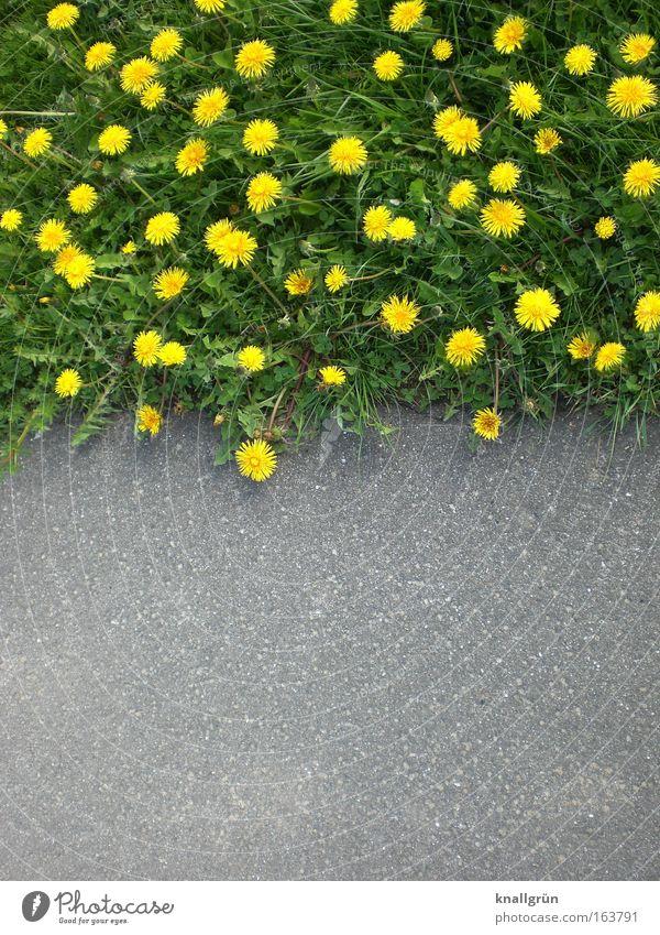 Nature vs. Civilisation Außenaufnahme Menschenleer Textfreiraum unten Tag Pflanze Frühling Blume Gras Blüte Grünpflanze Wildpflanze Wiese Blühend Wachstum gelb