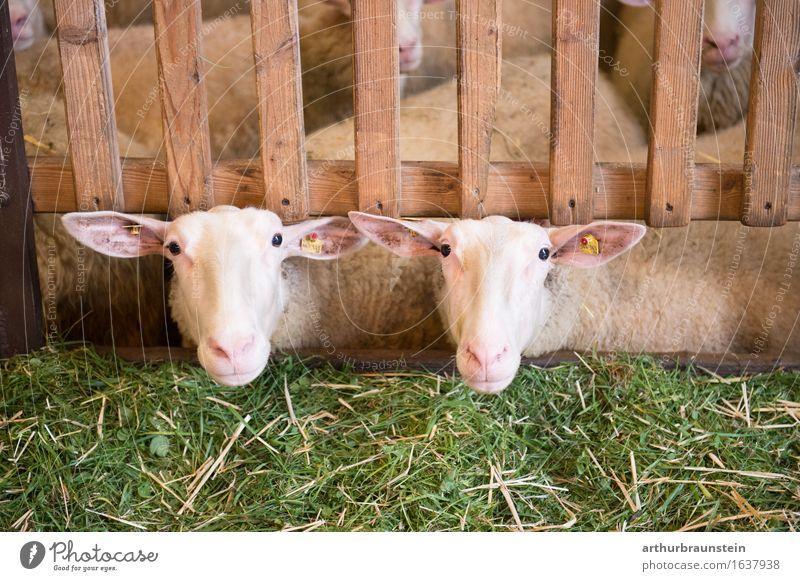 Schafe im Stall Pflanze Gras Zaun Tier Nutztier Schafherde Schafstall Schafskäse 2 Herde Holz beobachten Blick warten Glück natürlich grün Zufriedenheit