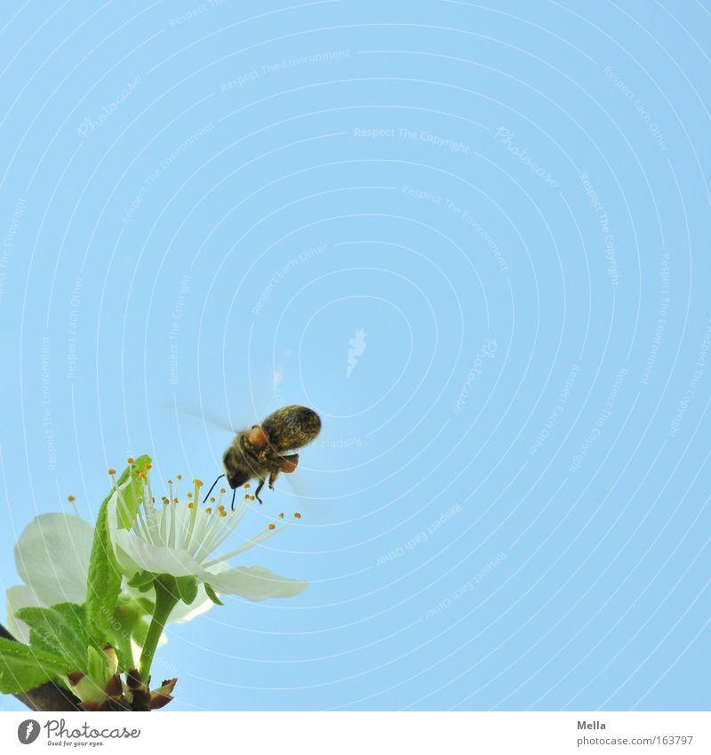 Von Bienchen und Blümchen Himmel Natur blau Pflanze grün weiß Tier Umwelt Frühling Blüte fliegen Arbeit & Erwerbstätigkeit Wildtier Blühend Schönes Wetter Wolkenloser Himmel