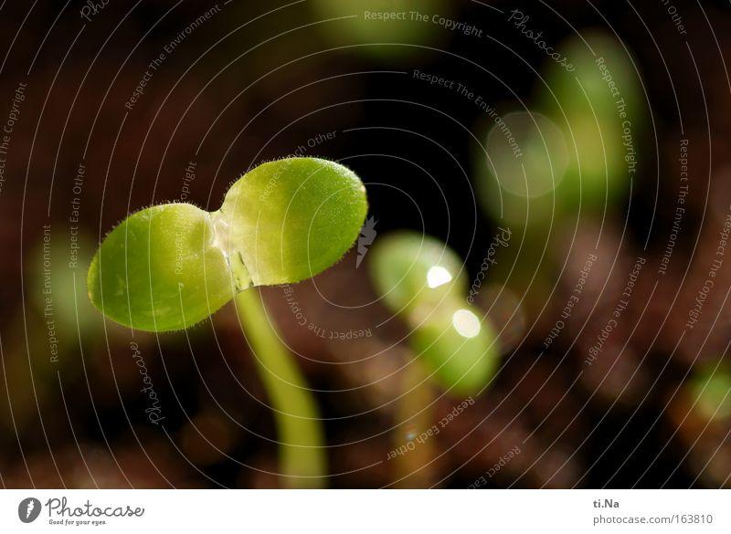 ein Motiv wächst Umwelt Natur Pflanze Erde Wassertropfen Frühling Schönes Wetter Blume Wildpflanze Wiese entdecken Wachstum ästhetisch authentisch wild braun