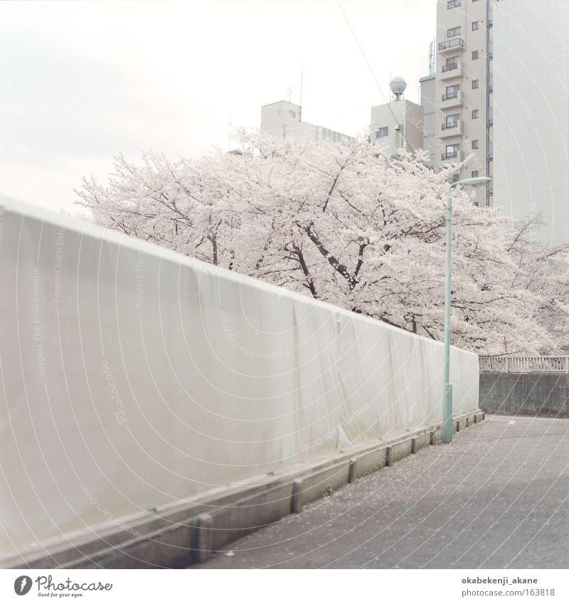 Himmel Baum Blume Wolken Blüte Asien Gelassenheit Japan