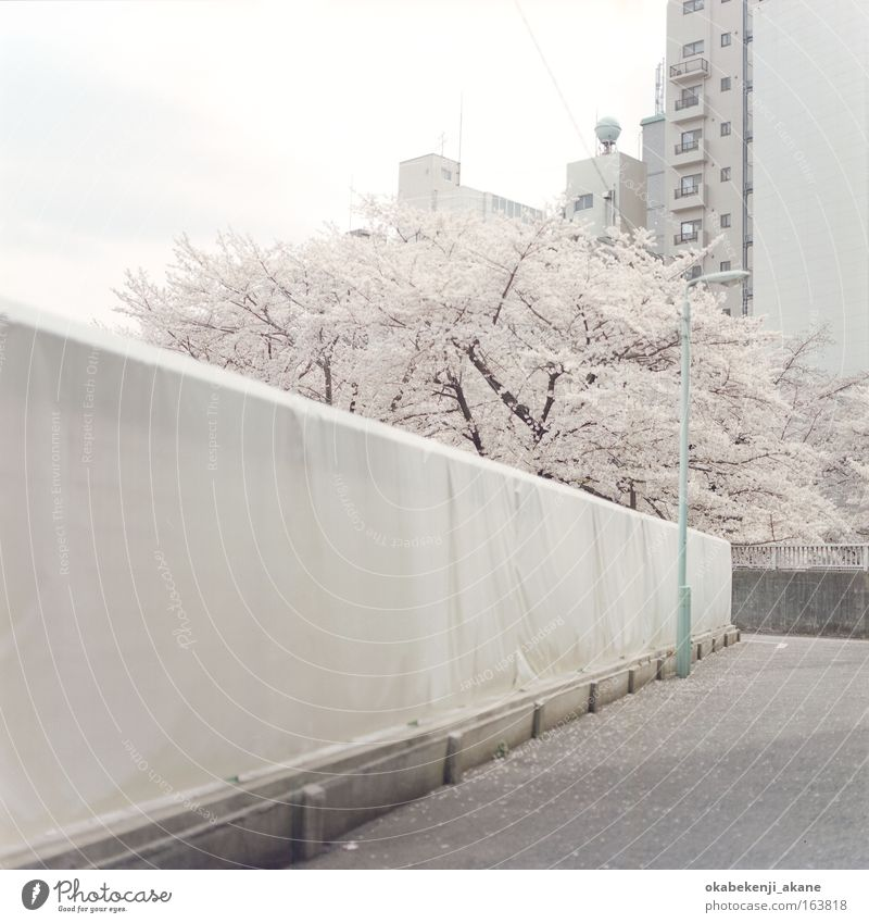 Sakura #7 Farbfoto Menschenleer Tag Totale Himmel Wolken Baum Blume Blüte Tokyo Japan Asien Gelassenheit