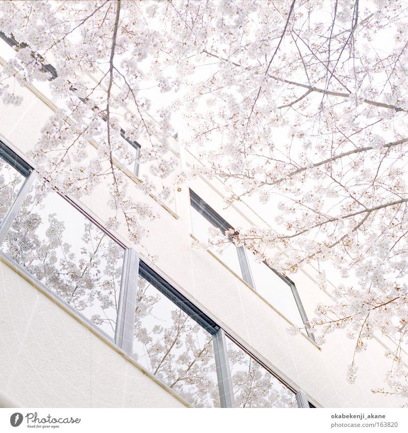 Sakura #8 Farbfoto Tag Licht High Key Blick nach oben Luft Baum Blume Tokyo Japan Asien Gebäude Gelassenheit
