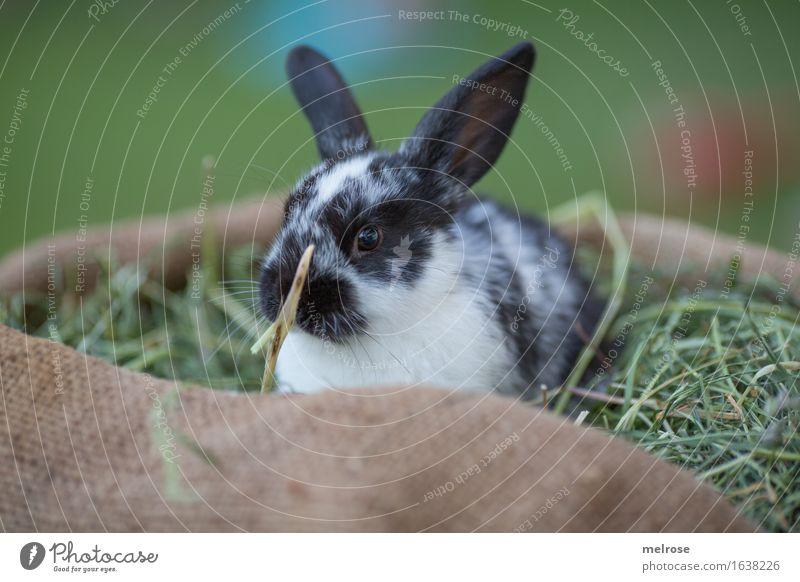 warten warten warten Ostern Gras Heu Stroh Garten Tier Haustier Tiergesicht Fell Hasenohren Schnauze Zwergkaninchen Säugetiere Nagetiere 1 Tierjunges Langeweile