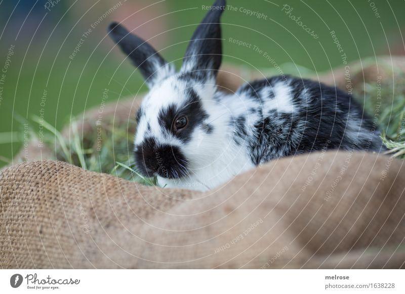chillen am WE grün weiß Erholung Tier schwarz Tierjunges Wiese Gras klein braun warten genießen niedlich weich Freundlichkeit Neugier