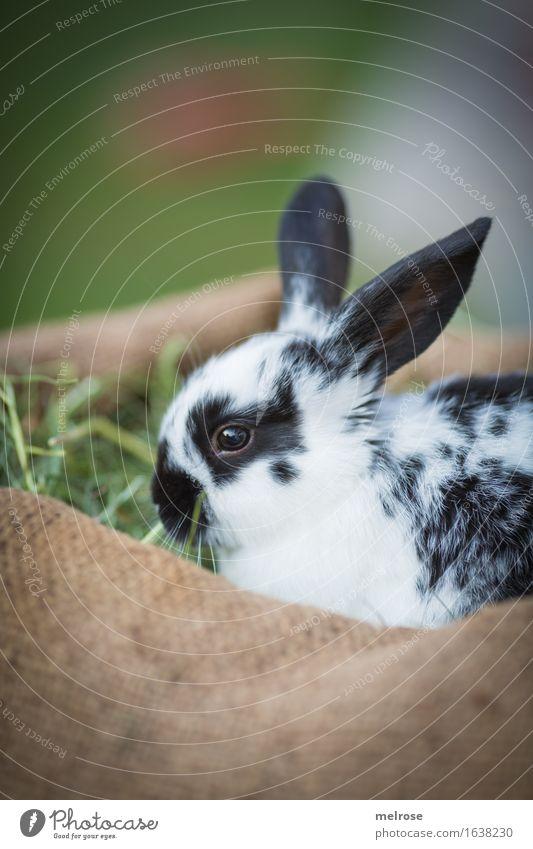 der 3. im Bunde grün weiß Erholung Tier schwarz Tierjunges Wiese klein Garten braun sitzen genießen niedlich weich Ostern Sicherheit