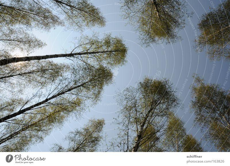 Birkenpollenallergie Farbfoto Außenaufnahme Menschenleer Tag Sonnenlicht Sonnenstrahlen Weitwinkel Blick nach oben Umwelt Natur Pflanze Frühling Schönes Wetter
