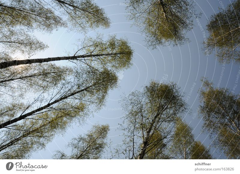 Birkenpollenallergie Natur Baum Pflanze Wald Frühling Umwelt ästhetisch Wachstum Blühend Schönes Wetter nachhaltig gigantisch Allergiker Birkenwald