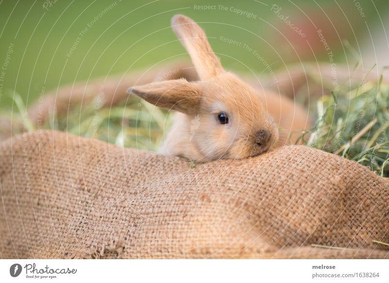 kuschelig gemütlich ... grün Erholung Tier Tierjunges Wiese Gras klein braun Zufriedenheit liegen genießen niedlich weich Neugier Ostern Fell