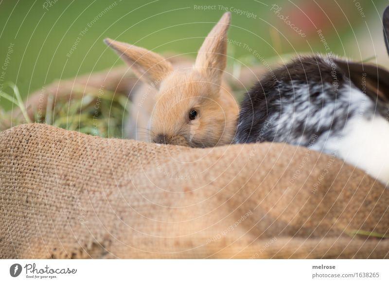 so fein kuschlig Ostern Gras Stroh Heu Wiese Tier Haustier Tiergesicht Fell Zwergkaninchen Nagetiere Säugetiere Hasenohren 2 Tierpaar Tierjunges Juttesack
