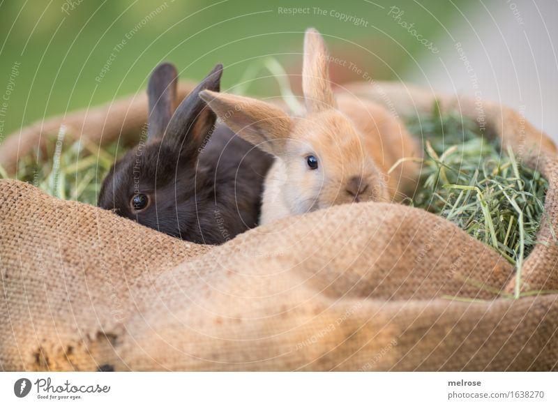 Kuschelzeit ... Ostern Gras Heu Stroh Wiese Tier Haustier Tiergesicht Fell Hasenohren Zwergkaninchen Säugetier Hasenlöffel Geschwister 2 Tierpaar Tierjunges