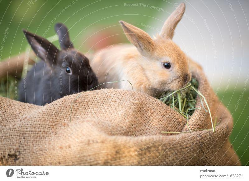 Futter fassen ... Ostern Gras Heu Garten Tier Haustier Tiergesicht Fell Zwergkaninchen Hasenohren Schnauze Säugetiere Nagetiere 2 Tierpaar Tierjunges Jutesack