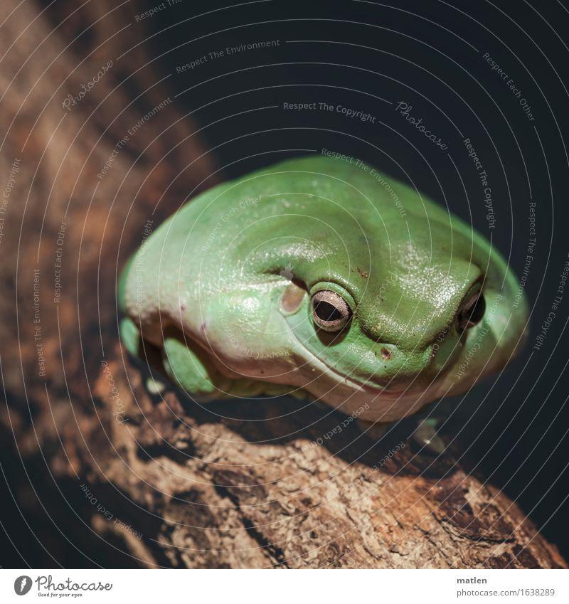 der Kandidat Baum Tier Frosch 1 sitzen Freundlichkeit braun grün Lächeln Übergewicht aufgeblasen Breitmaul Farbfoto Gedeckte Farben Außenaufnahme Menschenleer