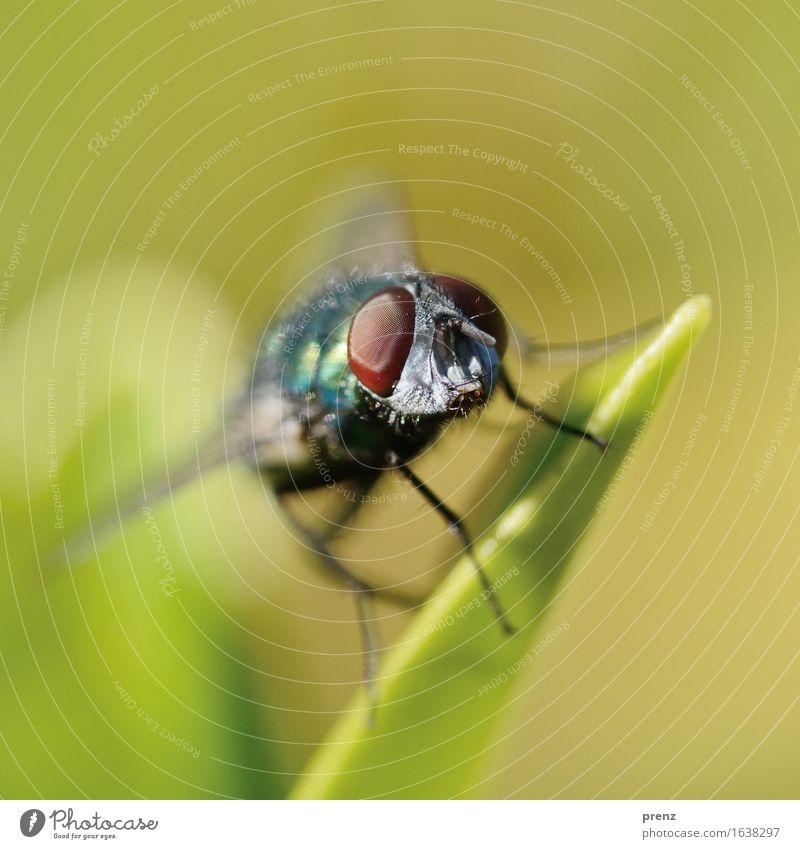 Augenblick Natur grün Tier Umwelt Wildtier Fliege sitzen Schönes Wetter Insekt Facettenauge