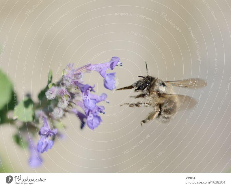 Biene 2016 Umwelt Natur Pflanze Tier Frühling Sommer Schönes Wetter Blume Blüte Garten Park Wiese Wildtier fliegen blau grün fliegend Insekt Farbfoto