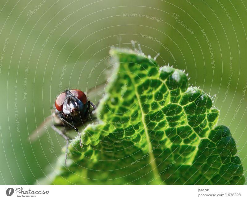 Gegenlichtfliege Umwelt Natur Pflanze Tier Frühling Sommer Blatt Wildtier Fliege 1 grün Insekt Kopf Auge Blick sitzen Farbfoto Außenaufnahme Nahaufnahme