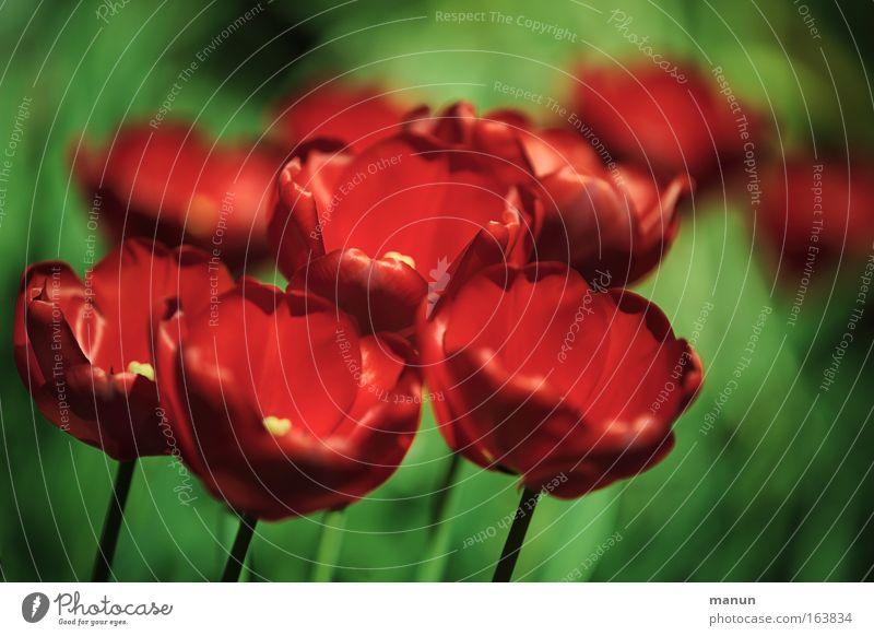Da blüht uns was! Natur schön Blume Pflanze rot Frühling Park Feste & Feiern Geburtstag elegant Dekoration & Verzierung Tulpe harmonisch Sinnesorgane Gartenbau