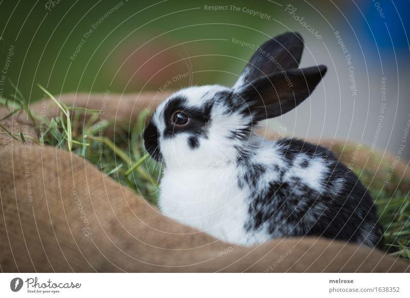 Ausschau halten grün weiß Erholung Tier schwarz Tierjunges Wiese klein braun Zufriedenheit genießen niedlich weich Neugier Ostern nah