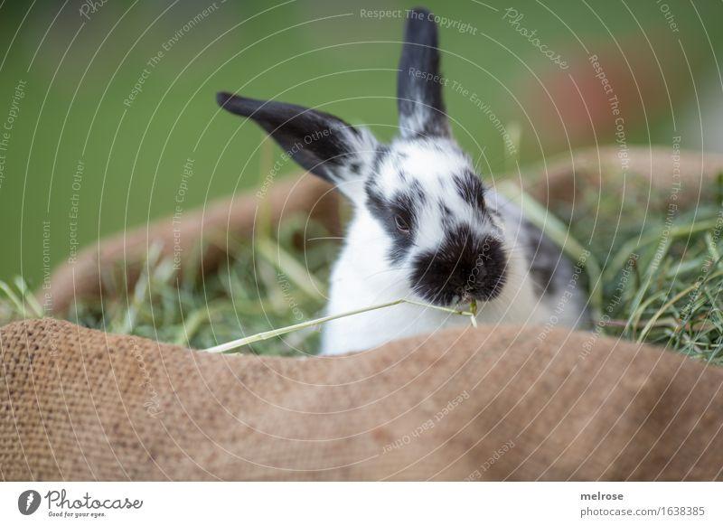 Guten Morgen neue Woche ... Ostern Gras Heu Stroh Wiese Tier Haustier Tiergesicht Fell Schnauze Hasenohren Zwergkaninchen Säugetier Nagetiere 1 Tierjunges