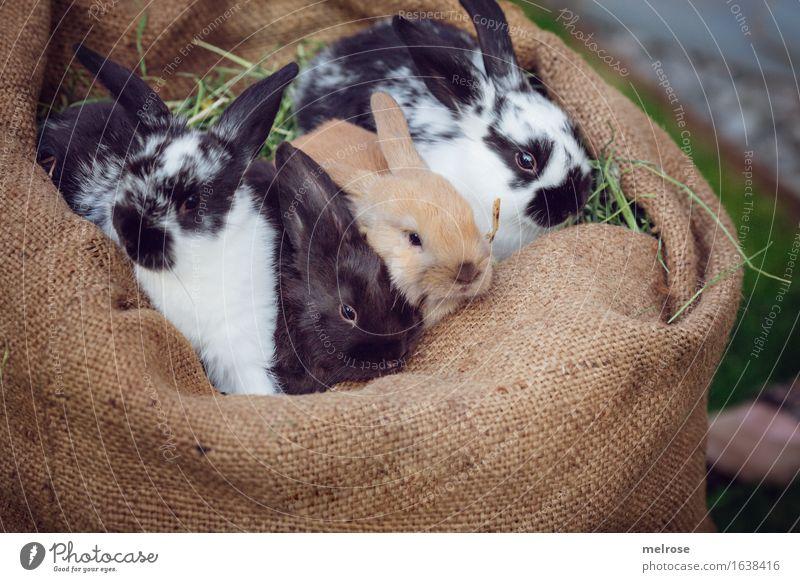 VIER Strolche Haustier Tiergesicht Fell Hasenlöffel Zwergkaninchen Nagetiere Säugetier 4 Tiergruppe Tierjunges Tierfamilie Quartett Geschwister Erholung sitzen