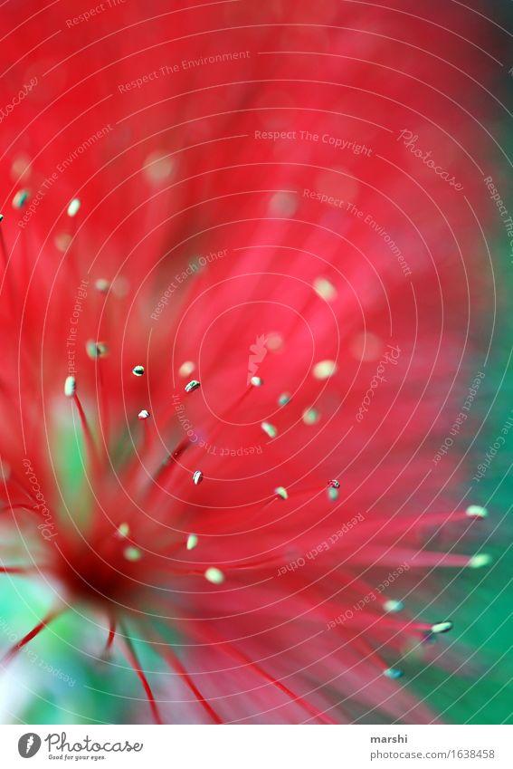 rote Fühler Natur Sommer Pflanze Blume Blatt Blüte Grünpflanze Wildpflanze exotisch Stimmung grün Unschärfe Sträucher Blütenstempel Portugal Farbfoto