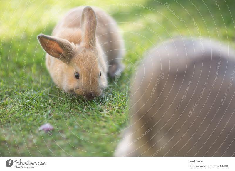 AB-Graser ... Ostern Garten Wiese Tier Haustier Tiergesicht Fell Nagetiere Sägetiere Hasenlöffel Zwergkaninchen 1 Tierjunges Fressen genießen kuschlig klein