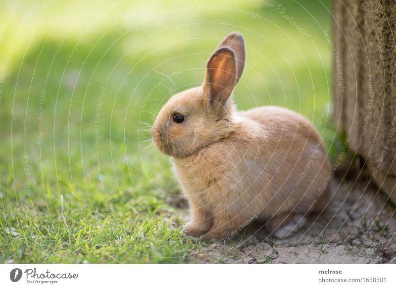ich warte ... Ostern Gras Garten Wiese Tier Haustier Tiergesicht Fell Pfote Hasenohren Zwergkaninchen Säugetier Nagetiere 1 Tierjunges Erholung genießen warten