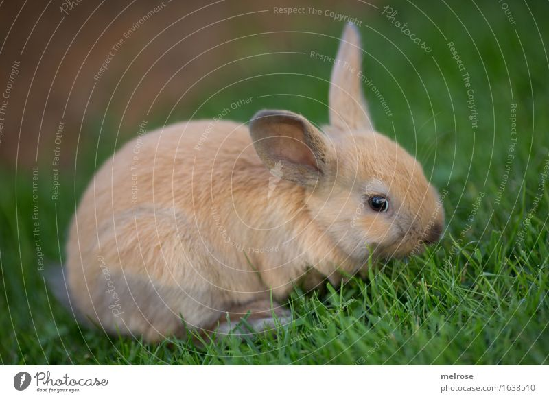 Quer-GRASER Gras Wiese Tier Haustier Tiergesicht Fell Zwergkaninchen Säugetier Nagetiere Hasenlöffel 1 Tierpaar Erholung genießen Freundlichkeit schön kuschlig
