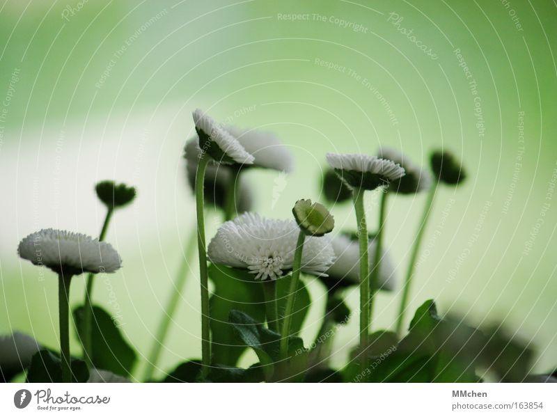 Gruppenfoto weiß Blume grün Pflanze Blüte frisch Wachstum mehrere aufwärts Gänseblümchen Zusammenhalt Wiesenblume Wuschelkopf