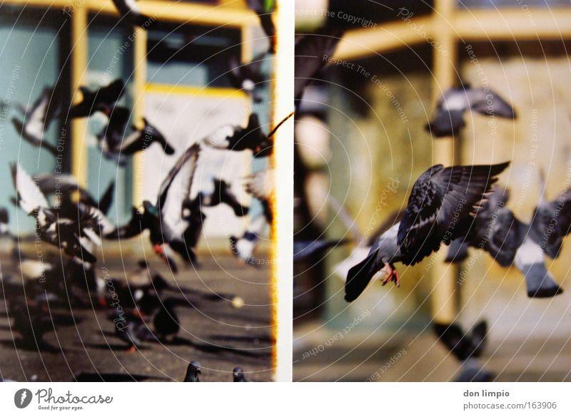 tauben 2 Natur Tier Vogel fliegen frei Unendlichkeit viele Taube Haustier füttern Schwarm Nutztier Parasit