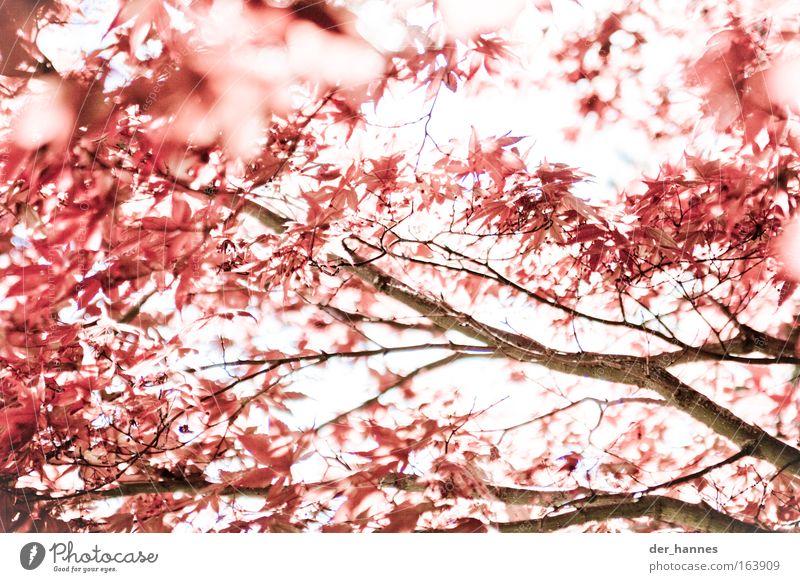 Tint it red! Natur Baum Pflanze rot ruhig Herbst Frühling Umwelt Coolness Wut Blühend Aggression nachhaltig Ahorn Gegenlicht gereizt