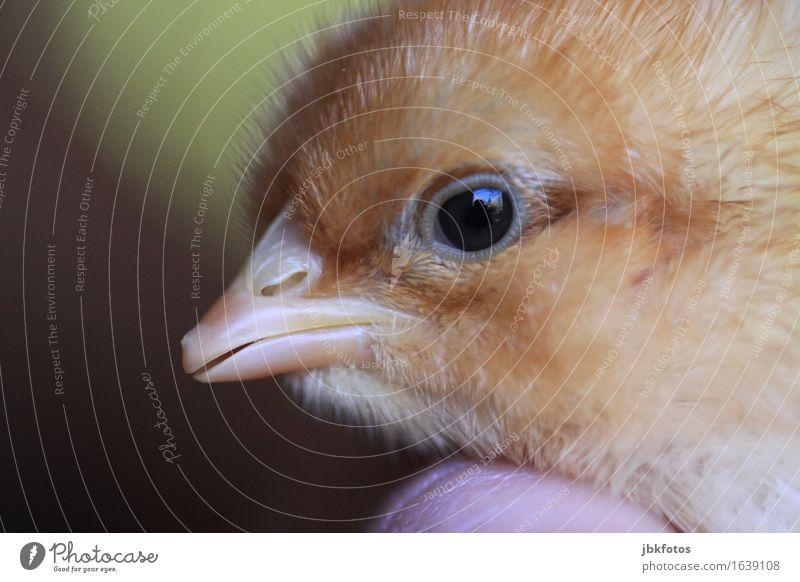 Küken Lebensmittel Ernährung Umwelt Natur Tier Haustier Nutztier Vogel Tierjunges Porträt Bewegung klein niedlich Fleece Schnabel Auge Kopf Finger Hand