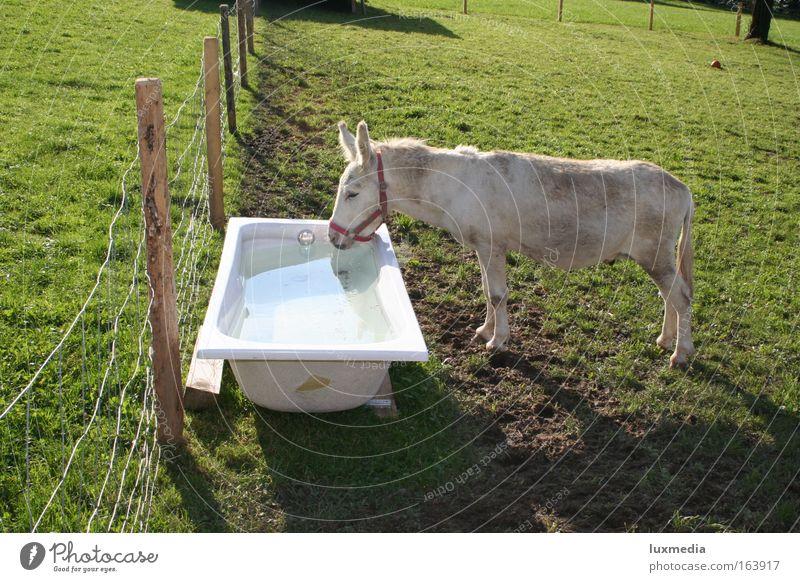 Eine Badewanne voll Durst Farbfoto Außenaufnahme Tag Sonnenlicht Tierporträt Blick nach unten Natur Sommer Wiese Feld Schwimmbad Haustier Nutztier Pferd 1