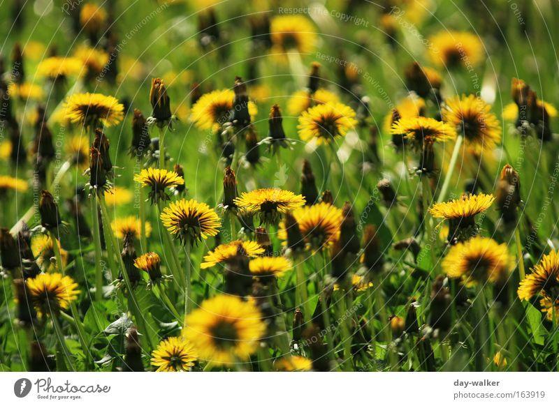 Summerfeeling Natur Blume grün Pflanze gelb Wiese Blüte Gras Frühling Landschaft Löwenzahn Duft Schönes Wetter Grünpflanze Frühlingsgefühle Wildpflanze