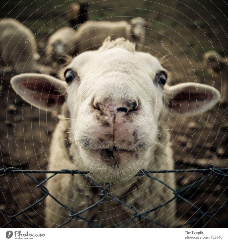 Animal Farm #2 Tier verrückt Fröhlichkeit Ohr Tiergesicht Fell Neugier Weide Schaf Kopf Interesse Herde Nutztier Tierliebe