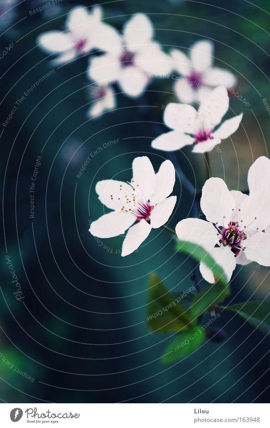 Blütenschnur. Farbfoto Außenaufnahme Nahaufnahme Menschenleer Tag Unschärfe Landschaft Pflanze Frühling Baum blau grün rosa weiß Blühend