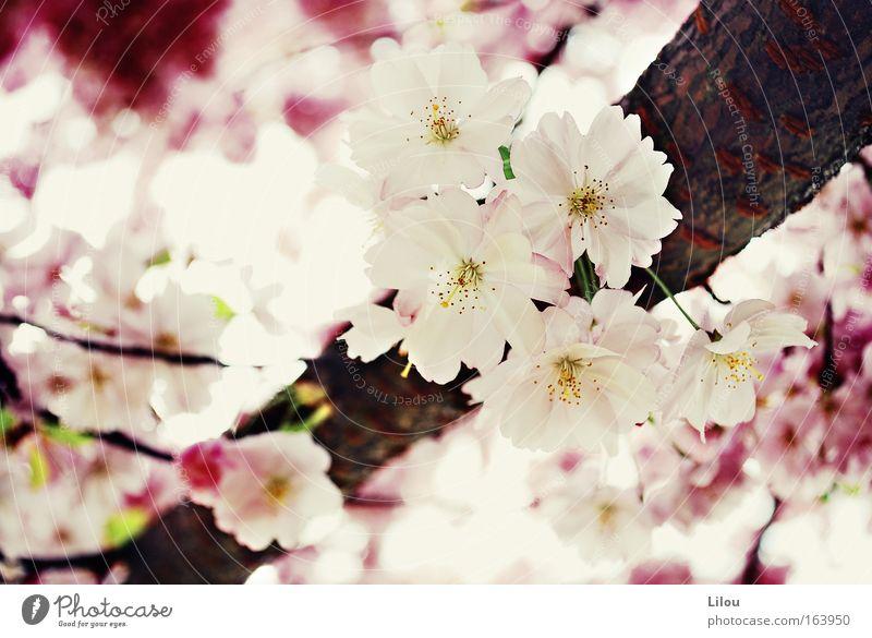 Der Frühling ist rosa. Farbfoto Außenaufnahme Nahaufnahme Menschenleer Tag Unschärfe Natur Pflanze Baum Blüte Park Blühend braun gelb rot weiß Ast Zweig Holz