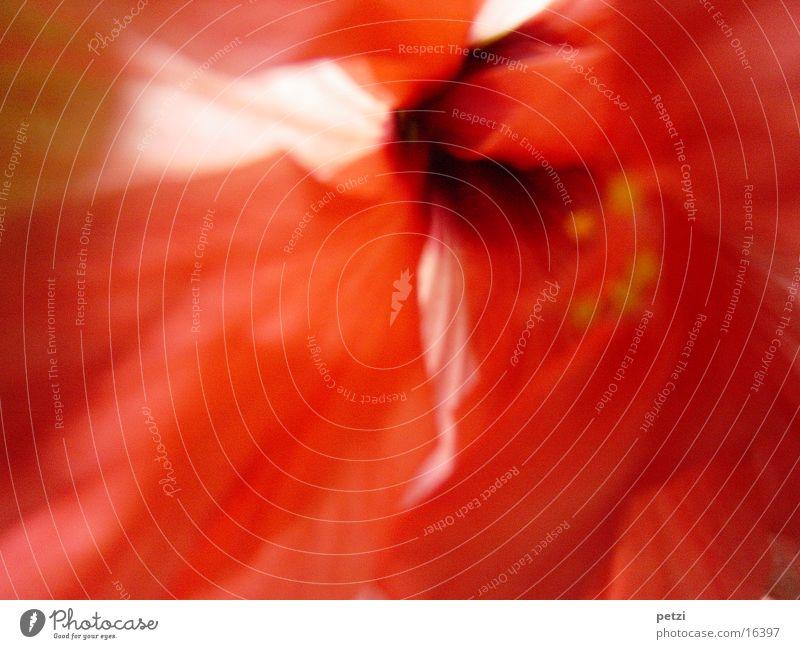 Rot wie Hibiskus Pflanze Blüte Topfpflanze rot Hibiscus Mitte Farbfoto Außenaufnahme Textfreiraum unten Licht Unschärfe Zentralperspektive