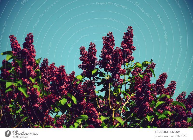 Oh Maienluft und Fliederduft ... Natur Pflanze Himmel Wolkenloser Himmel Sonnenlicht Frühling Klima Schönes Wetter Sträucher Blatt Blüte Grünpflanze